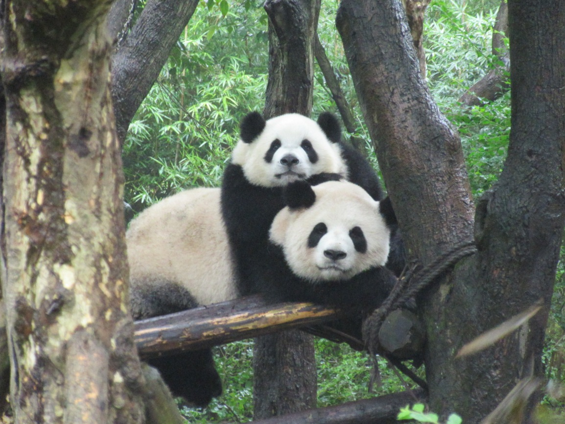 Gaining access to China's endangered giants